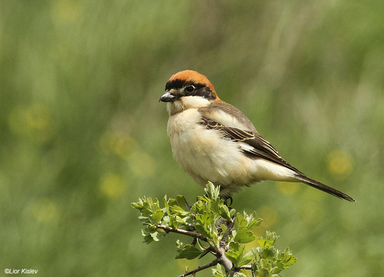 Woodchat Shrike  Lanius senator ,Valley of tears ,Golan 13-04-11. Lior Kislev