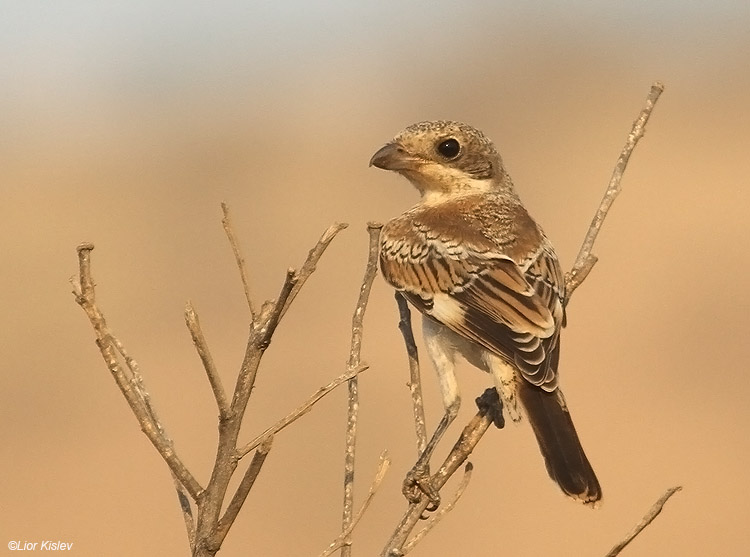 Woodchat Shrike  Lanius senator ,the Btecha(Jordan river delta)july 2010. Lior Kislev