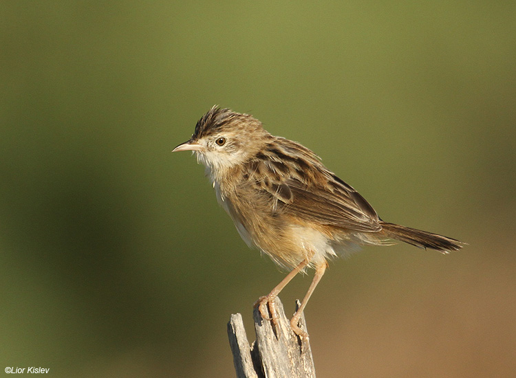 Zitting Cisticola  Cisticola juncidis Beit Shean Valley Israel , October 2010  Lior Kislev