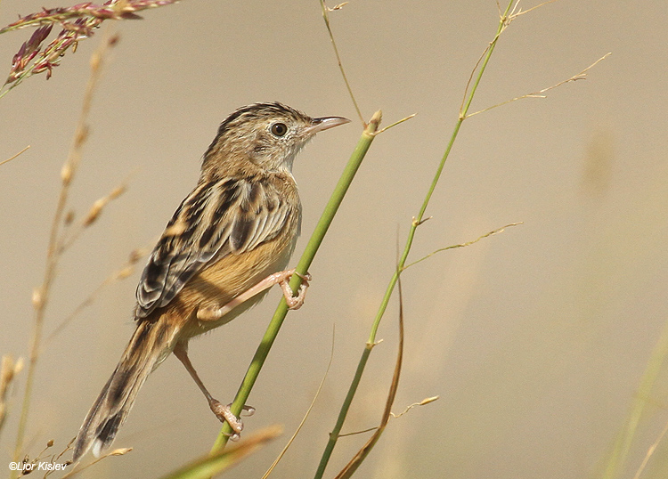 Zitting Cisticola  Cisticola juncidis Beit Shean Valley Israel , October   2011  Lior Kislev